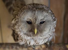 Воспитанники детсада во Всеволожске спасли совёнка от стаи разъярённых ворон