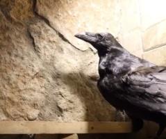 Ворон из Кандалакшского заповедника