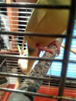 Волнистый попугайчик упал с жердочки и у него опухла лапка