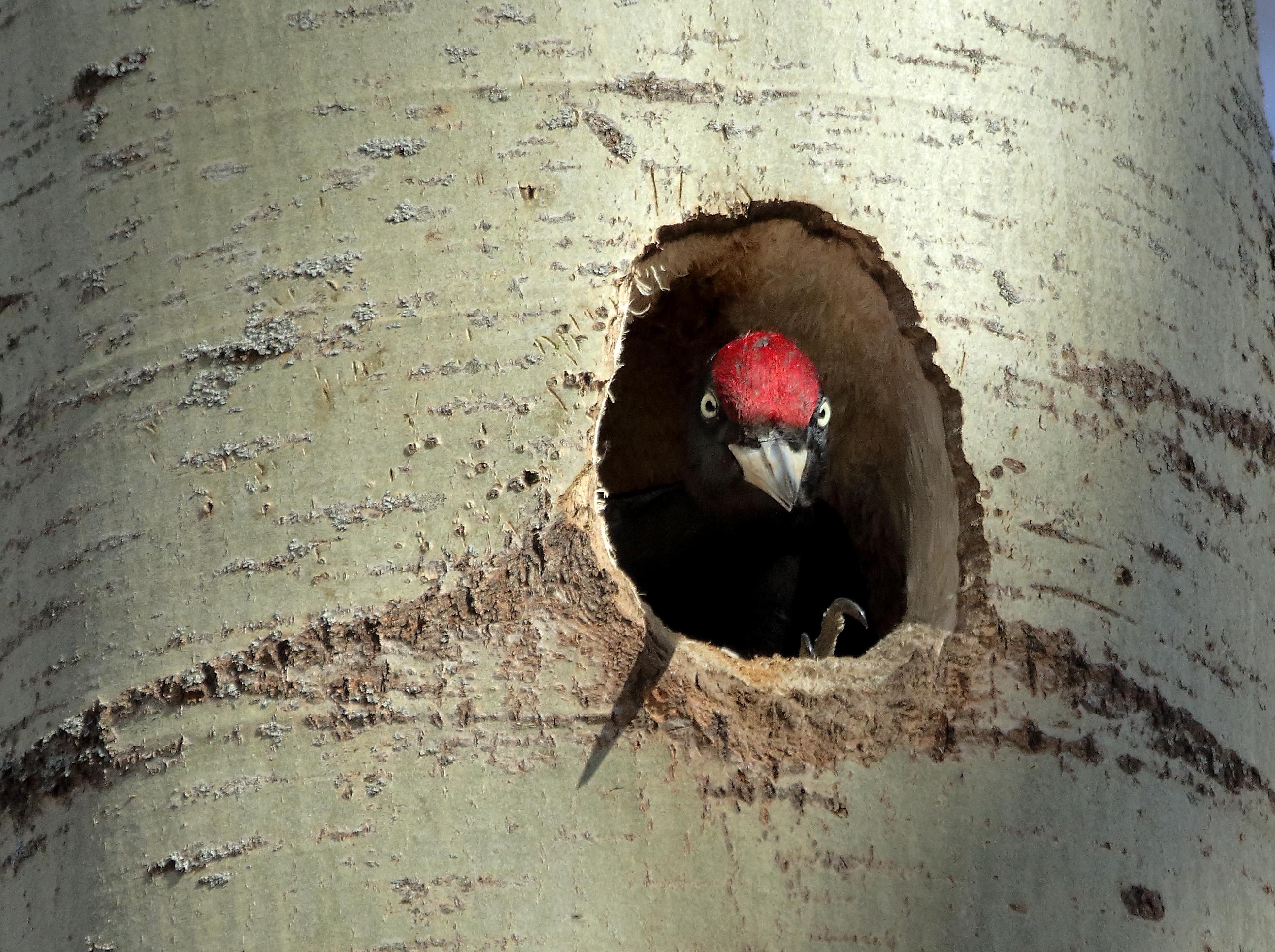 Гнездование желны в ГБС.