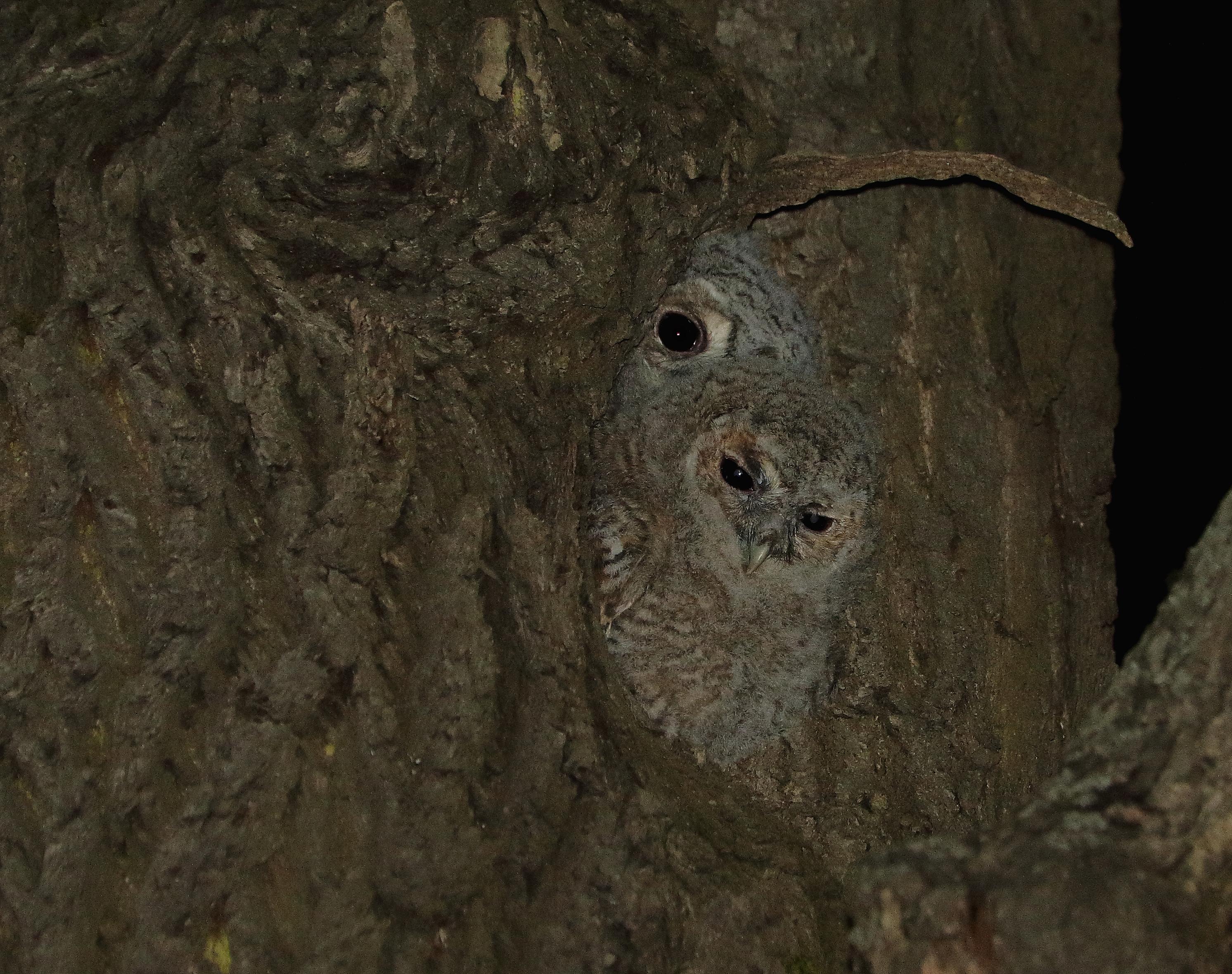 Гнездование серых неясытей и охрана совят.